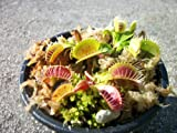 3 Small Venus Flytraps - Fly Trap - (...