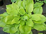 Hosta, Sum and Substance 6-pack starter plants, shade, guaranteed