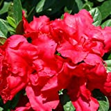 """Red Bloom-A-Thon® Everblooming Azalea - Ever Blooming - Proven Winners - 4"""" Pot"""