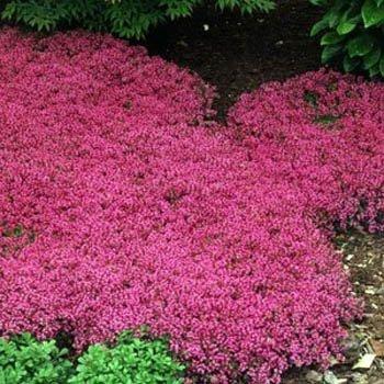 Creeping Thyme Magic Carpet - 500 Seeds