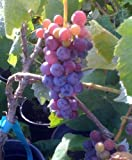 Thomcord Seedless Grape Vine One Gallon Plant