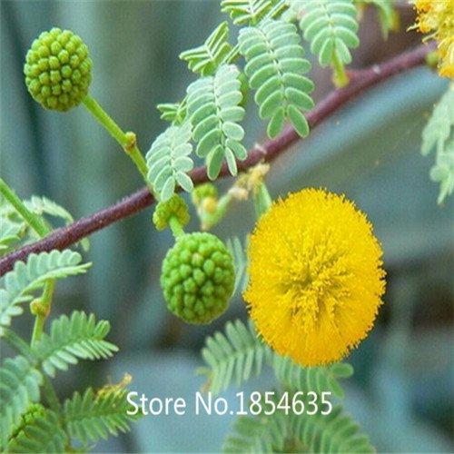 alta-calidad-100pcs-bag-semillas-de-acacia-confusa-de-hoja-perenne-de-jardineria-semillas-del-arbol-
