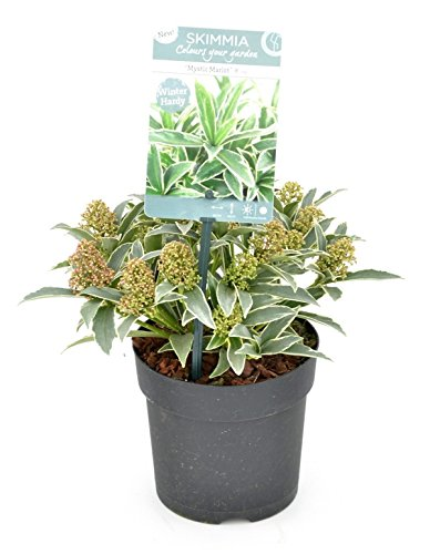 skimmia-japonica-mystic-marlot-gesamthohe-20-30cm-topf-p13
