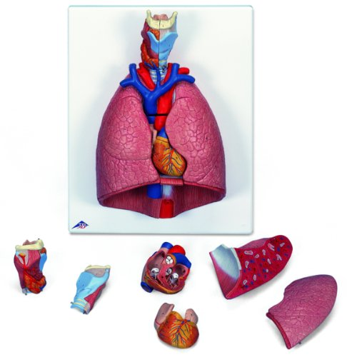 Lung Model with larynx, 7 part