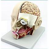 Human head Anatomical Models, Include: cranial cavity,orbital cavity, nasal cavity,oral cavity,neck.