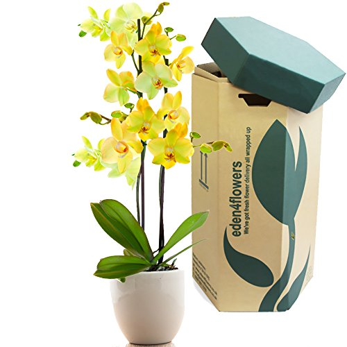 large-twin-stemmed-green-phalaenopsis-flowering-orchid-plant-flowering-plant-gifts-by-eden4flowers