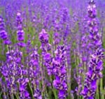 500 TRUE ENGLISH LAVENDER VERA Lavend...
