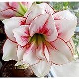 Hipeastrum Aphrodite - Amarylis - Aphrodite - Bulb/Tuber/Root -