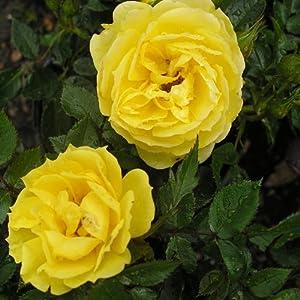 Golden Wedding Anniversary Rose