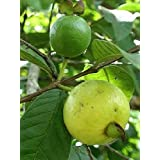 Psidium Angulatum - Brazilian Guava - Rare Tropical Plant Shrub Seeds (10)