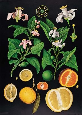 zitrus-lehrtafel-dekoposter-85-cm-x-120-cm-auf-leinwand-mit-holzstaben-wanddekoration-poster-naturta