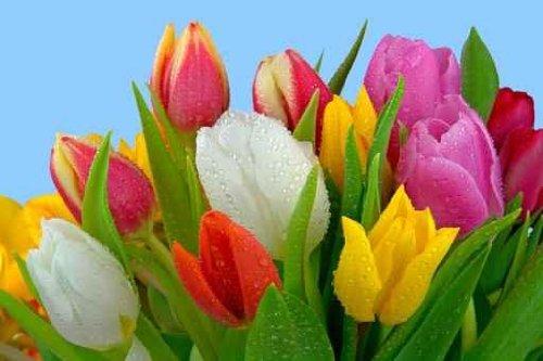 Fresh Tulip bouquet with dew - 18