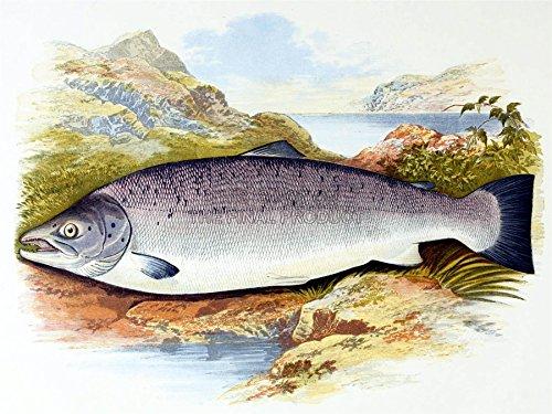 Painting Animal Fish Mature Atlantic Salmon Lydon 12X16'' Art Print Lah394B