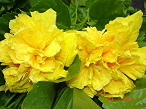Emeralds Tropical Hibiscus Plant Big Double Yellow Delite 4 Inch Pot