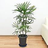 棕櫚竹(シュロチク) 中鉢(8号)