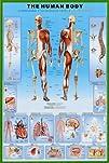 Human Body Education Poster Print, 24…