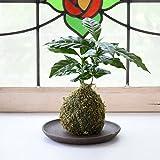 【選べる仕立て】苔玉 コーヒーの木/ココボール コーヒーの木 常滑焼受け皿付 (A:苔玉仕立て, 1:ブラウン)