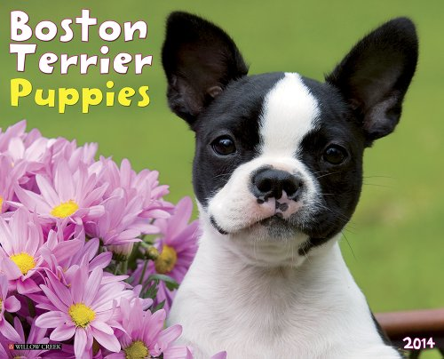 Boston Terrier Puppies 2014 Wall Calendar Picture