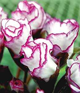 baldur garten rosen primeln rosen primula 39 bicolor 39 3