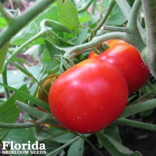 HOMESTEAD TOMATO 150+ Heirloom Vegetable Seeds Heat Tolerant Florida Tomato (Heat Tolerant Tomato Seeds compare prices)