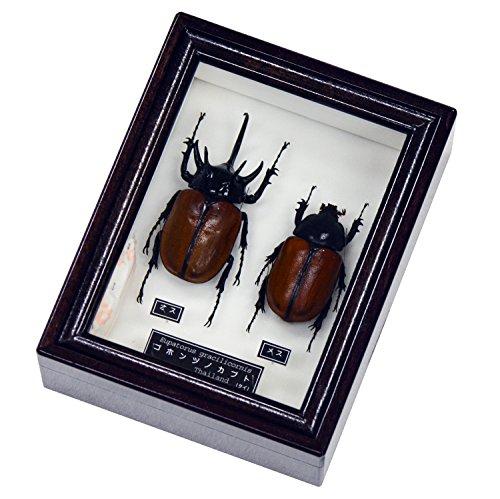五本の角が格好いい 名和昆虫博物館 企画・製作 ゴホンヅノカブトの雌雄セット標本