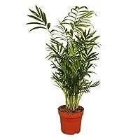 Kentia-Palme ca.60-80cm