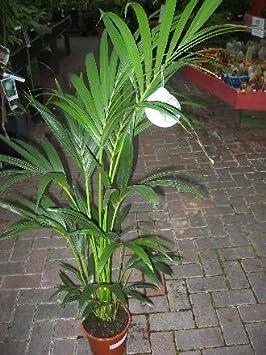 plante d 39 int rieur plante pour la maison ou le bureau howea forsteriana palmier. Black Bedroom Furniture Sets. Home Design Ideas