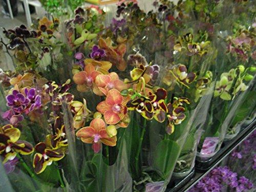 3-stuckphalaenopsis-2-triebe-orchidee-bluhend-9cm-topf-orchid-orchidee