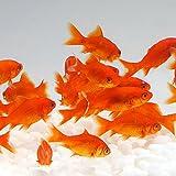 金魚  小赤 餌金 30匹 エサ用金魚にも
