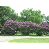Purple Crepe/Crape Myrtle (100+seeds) fresh this season's harvest