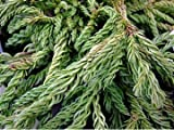Cryptomeria Japonica Spiralis or Japanese Cedar Conifer