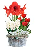 Grand Holiday Basket (18 Bulbs) Garden Pre-Planted in Round Natural Whitewash Bowl with Festive Holly Trim