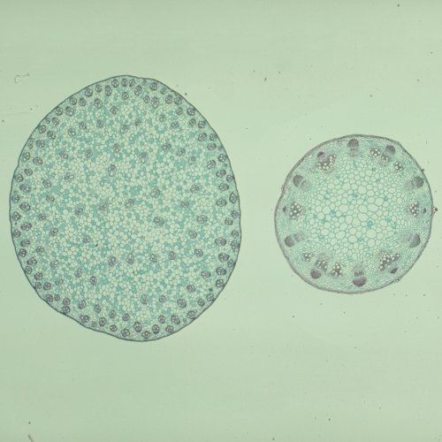 Typical Monocot And Dicot Stems, C.S., 12 Μm Microscope Slide