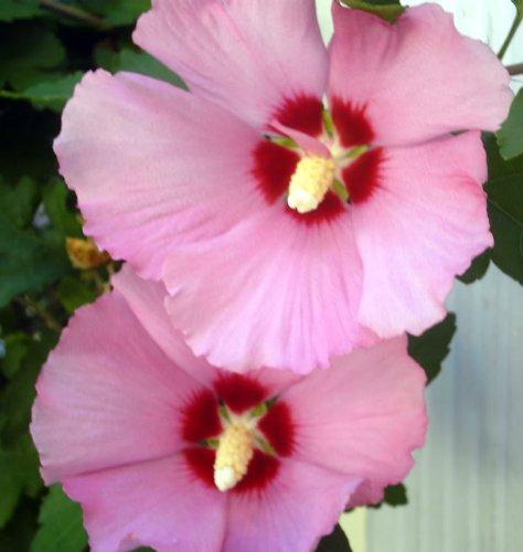 50-dark-pink-rose-of-sharon-hibiscus-syriacus-flower-tree-bush-shrub-seeds-mix-comb-s-h