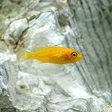 (熱帯魚)オレンジゼブラ・シクリッド(4匹) 本州・四国限定[生体]