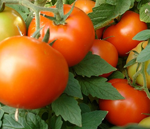 Bush Early Girl Hybrid Tomato 150 Seeds #1884 Item Upc#650348692148 (Bush Tomatoes compare prices)