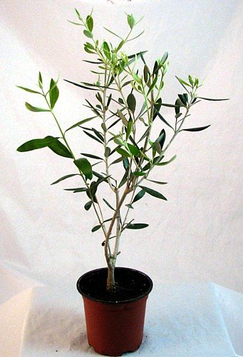 Olive Tree - Tree of Peace - Olea europaea - 4