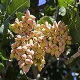 10 Seeds Pistachio Nut Tree (Pistacia vera)