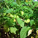 Outsidepride Cape Gooseberry - 1000 Seeds