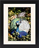 Framed Print of Peacock from Prints Prin...