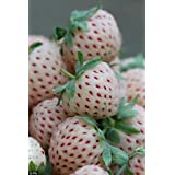 SD-0554 NEW White STRAWBERRY, GIANT, wild, LARGEST FRUIT, EVERBEARING (40seeds) (Color: See Product Photo)