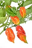 "Ghost Pepper Plant - Two (2) Live Plants - Not Seeds -Each 4""-7"" Tall- In 3.5"" Pots - Ghost Pepper Bhut Jolokia"