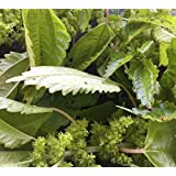 10+ Clearweed Nettle Seeds HERBAL REMEDY
