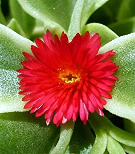 Me Zoo Trailing Ice Plant - Dorotheanthus - Indoors/Out - 6