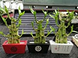 Lucky Bamboo 'Steps' in a Ceramic Pot. Indoor Houseplant Bonsair for Feng Shui