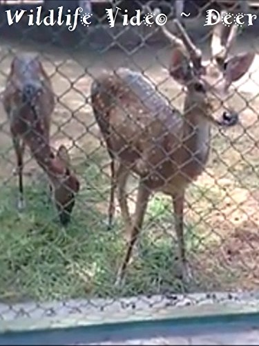 Clip: Wildlife Video ~ Deer