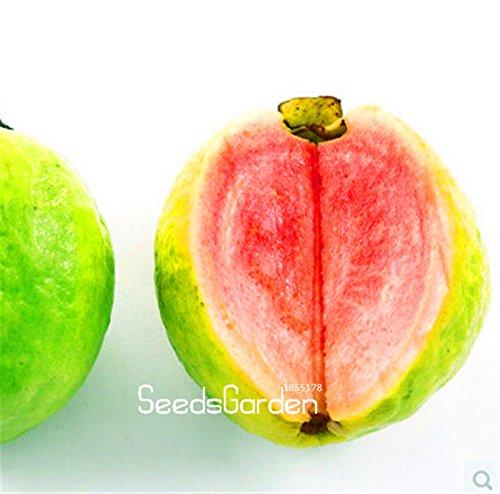grande-promozione-10-pc-semi-pack-balcone-patio-in-vaso-alberi-da-frutto-piantati-semi-psidium-semil