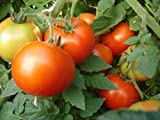 Tomato Seed , tried & trusted by commercial growers, top quality hybrid tomato seed ,Firm and uniform fruit size with excellent shelf life , 100 seed home gardening pack