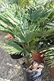 Trachycarpus fortunei - Chusan Palm - 70cm Tall- Stocky healthy plants