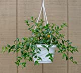 Goldfish Plant - Hypocyrta glabra - Blooms Constantly - Great House Plant